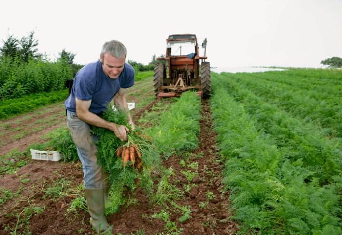 farm worker harvesting carrots