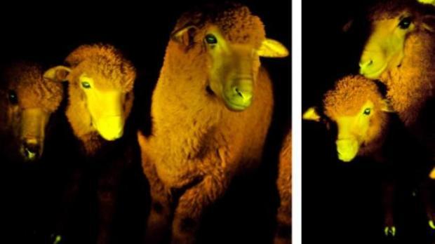 ovejas transgenicas
