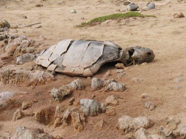 tortuga de tierra muerta