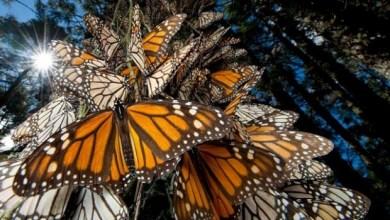 Photo of La Mariposa Monarca en su paso por San Luis Potosí