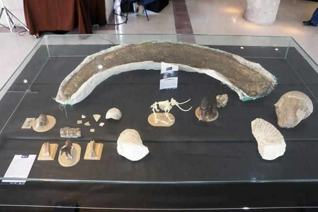 Colmillo de mamut exhibido en la Fac de Ingeniería UASLP