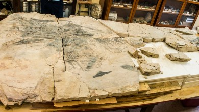 Photo of Investigadores de la UASLP exhibirán fósil de pez del jurásico