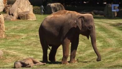 Photo of Video: Elefante le pide a los cuidadores de un zoológico que despierten a su cría