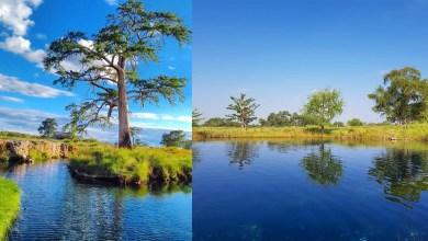 Photo of Los Peroles, Ríoverde: Donde vive un milenario árbol