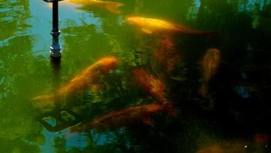 Photo of Los peces Koi de la Alameda «Juan Sarabia»