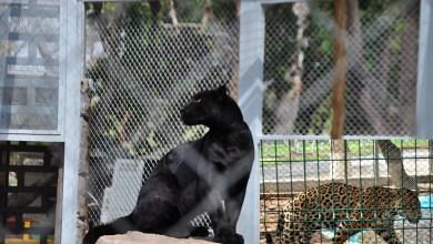 Photo of El jaguar y la pantera del Parque Tangamanga I