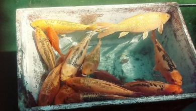 Photo of Limpian el estanque de los Peces Koi de la Alameda