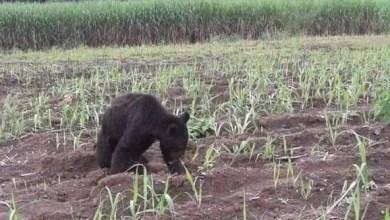 Photo of Aparece oso negro en cañaverales de Tamasopo