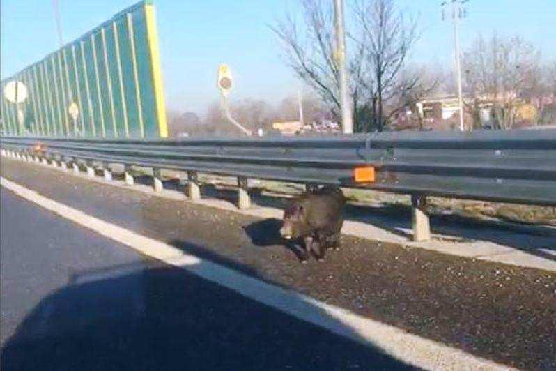 Incidente mortale dopo aver investito due cinghiali sull'A26