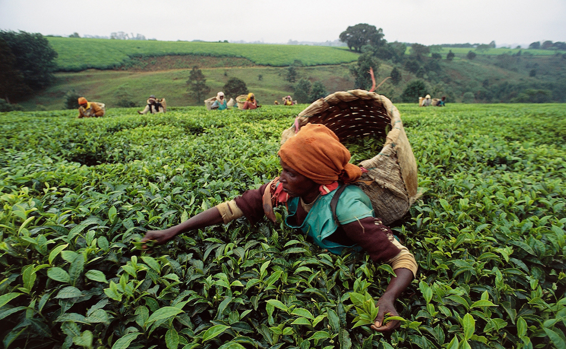Tea prices dip 12% as high volumes persist