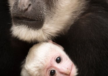 New colobus monkey makes debut at Zoo