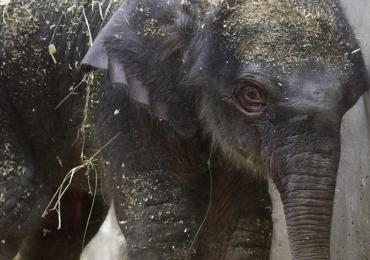 Baby elephant who died had birth defects, Zoo says