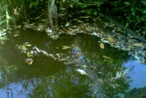 Allegedly Due MCC Waste, Dead Fish in the River Estuary Nails, Rohul