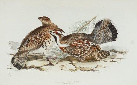 Pyyt, kuva John Gouldin kirjasta The Birds of Europe