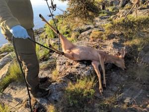 Kauriin nostaminen puuhun onnistui köyden avulla