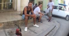 Cuba cock