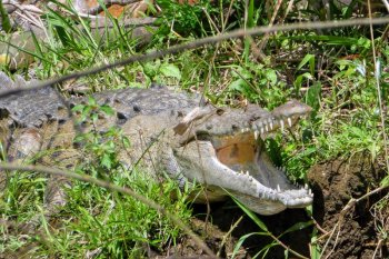 costa rica tortuguero krokodille