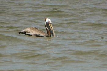 pelikan playas del coco costa rica