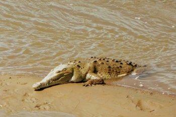 tarcoles krokodiller costa rica