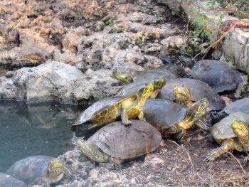 playa giron svinebugten cuba skildpadder