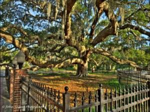 The Baranoff Oak