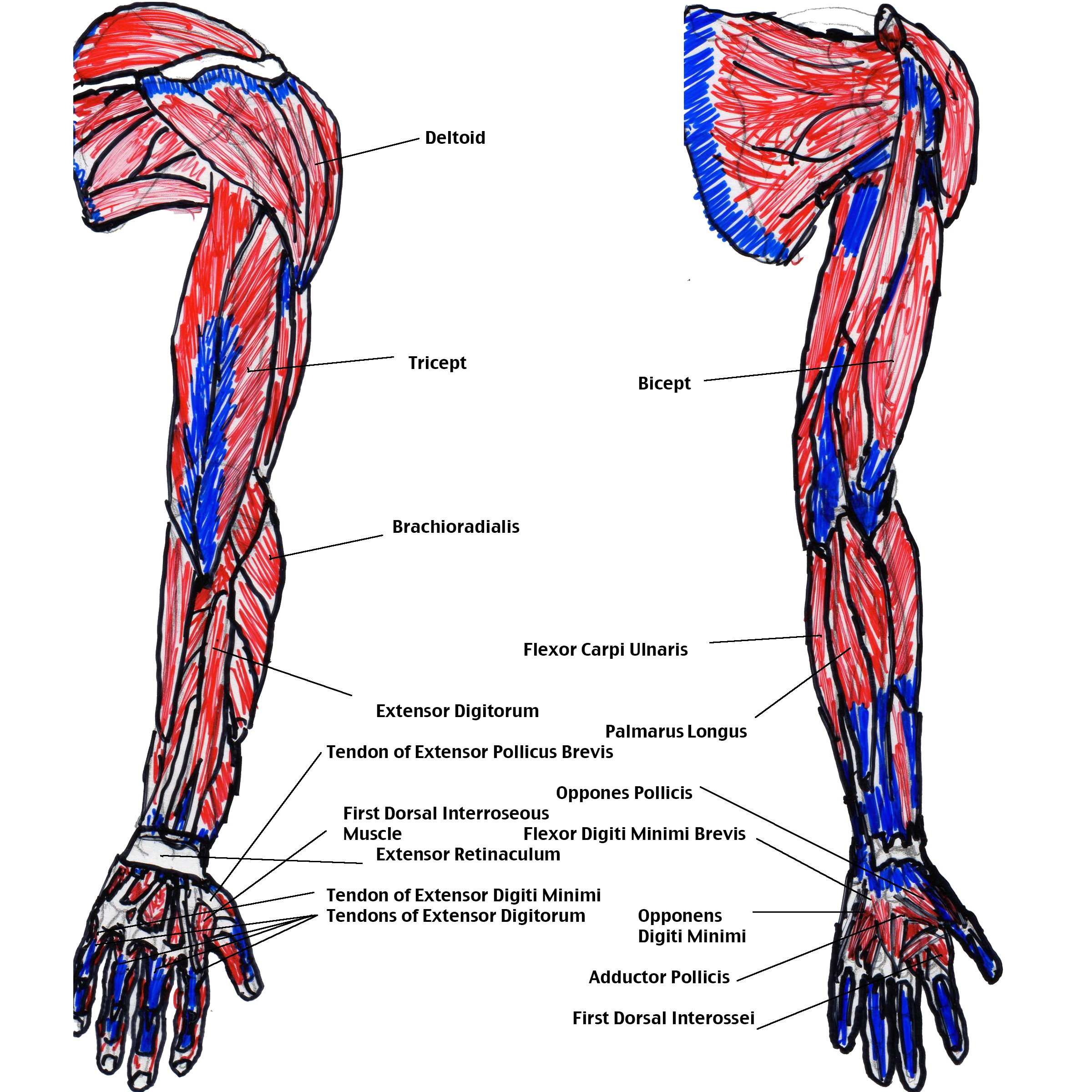 muscles in your arm diagram 2001 ford explorer sport trac wiring michael christopher metzger