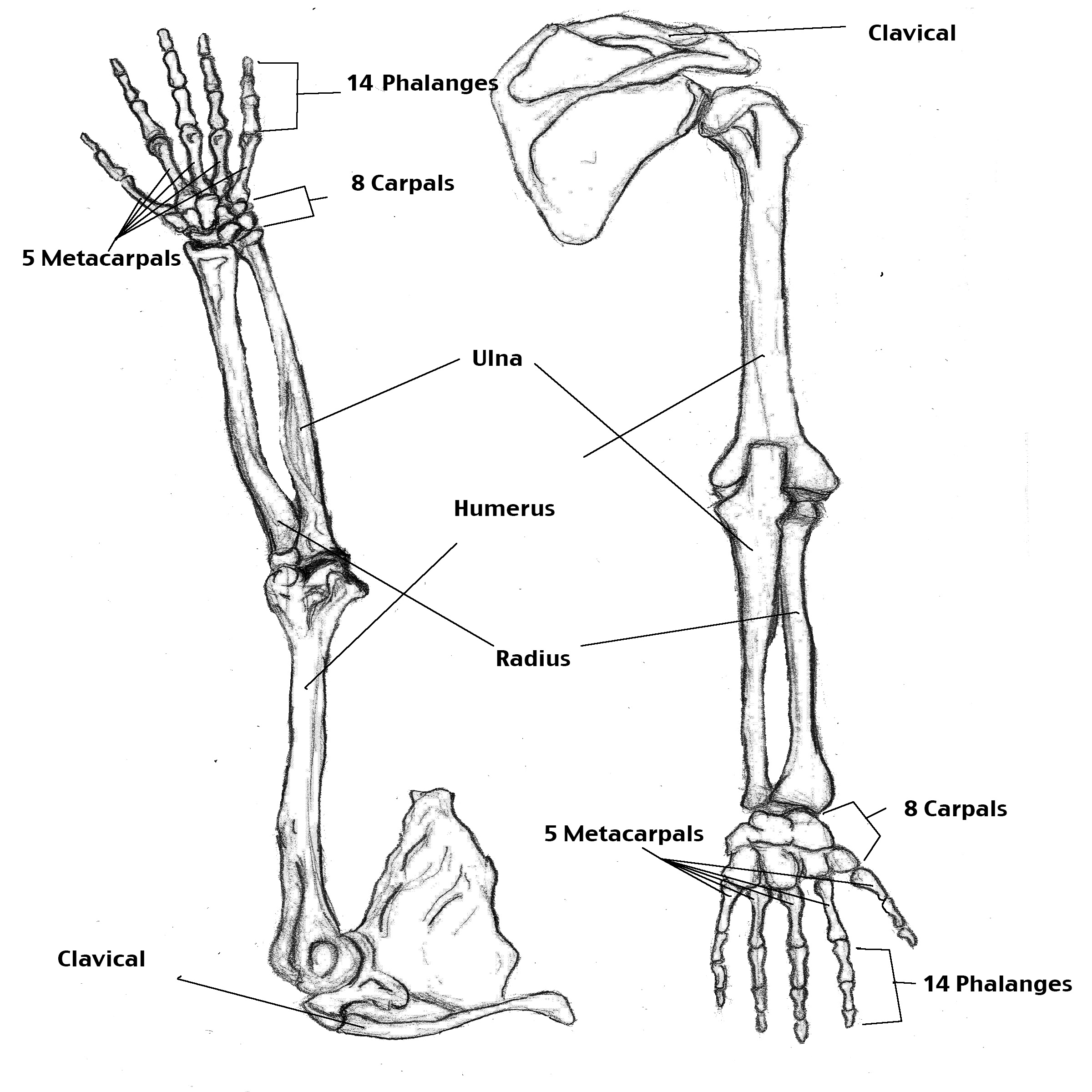 Skeleton Arm