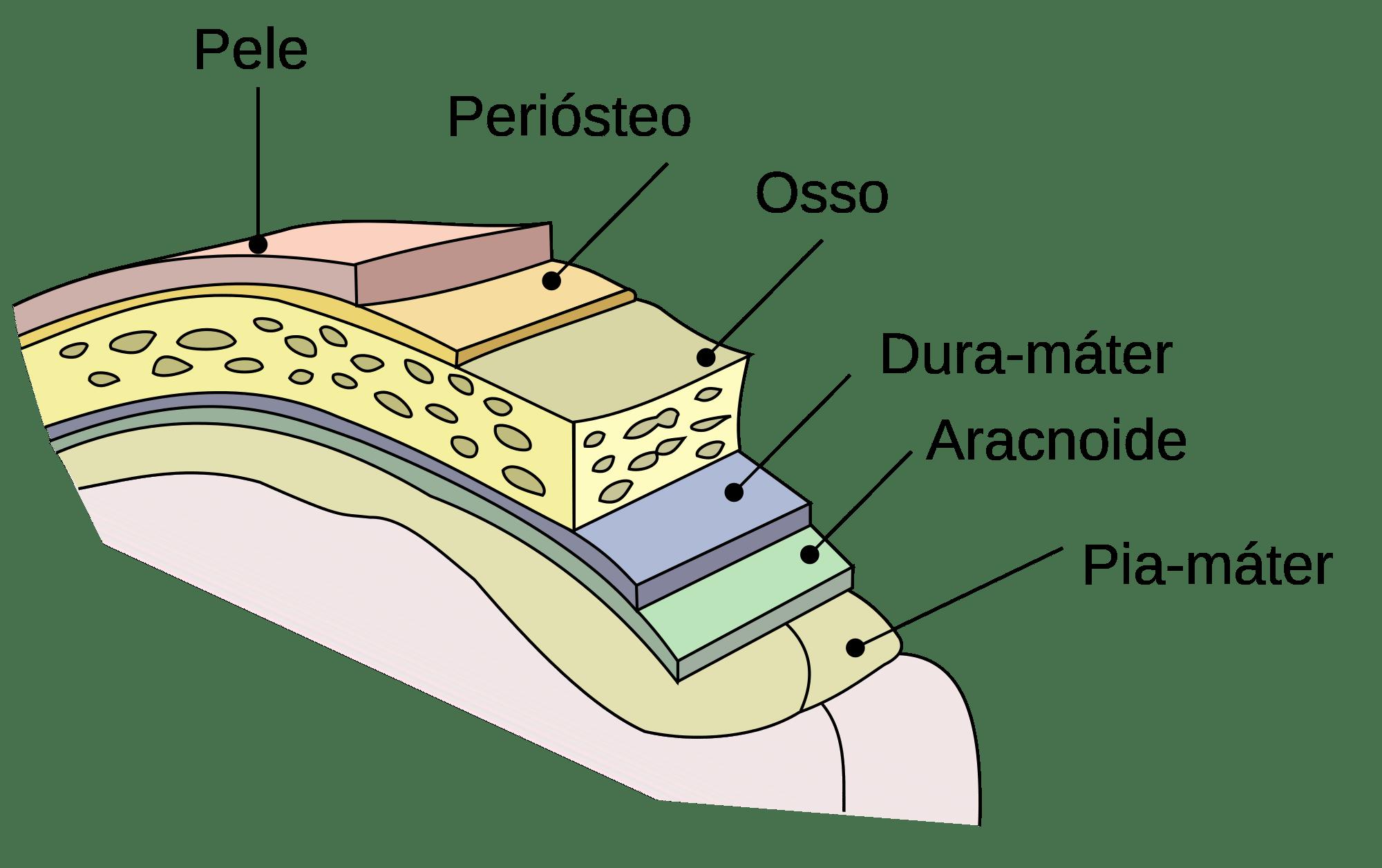fetal pig nervous system diagram hockey rink a neuroanatomia do revestimento cerebral