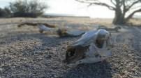 Día 3. Esqueleto de canguro