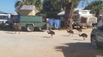 Día 4. Los Emu-Reyes del camping de Monkey Mia