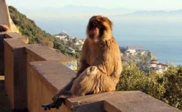 mono de gibraltar