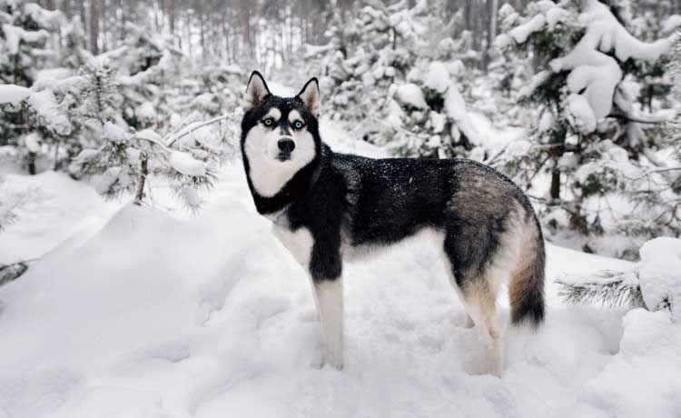 Trabajar con perros de nieve