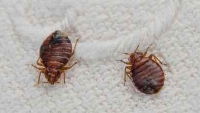 حشرة البق و 20 طريقة طبيعية للتخلص من آثار اللدغ