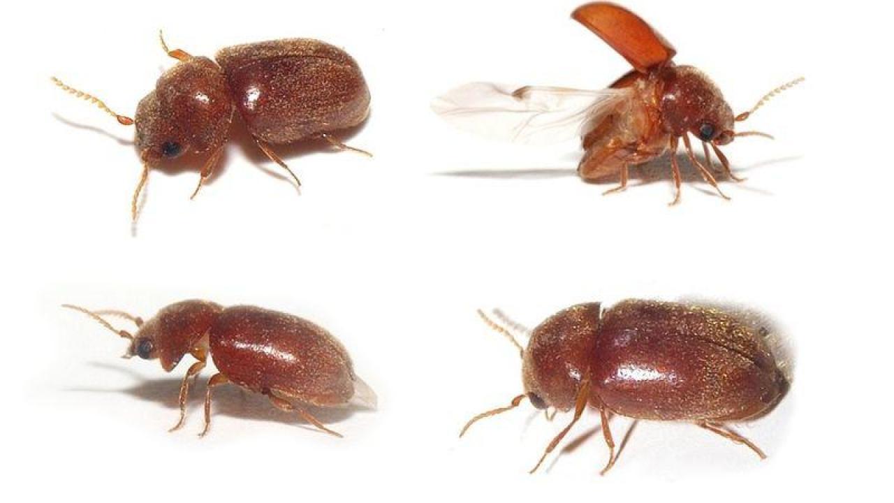 حشرة بنية صغيرة تطير بالصور Mexdin