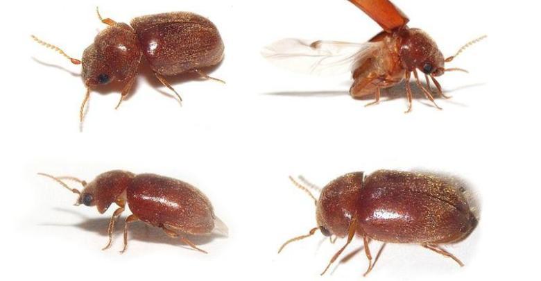 حشرة بنية صغيرة تطير