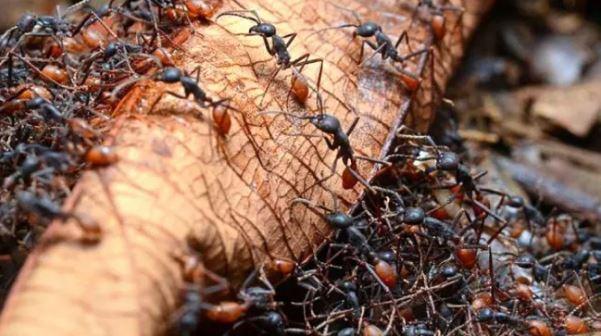 انواع النمل الأكثر خطورة في العالم بالصور