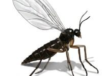 حشرة صغيرة جدا لونها اسود تطير