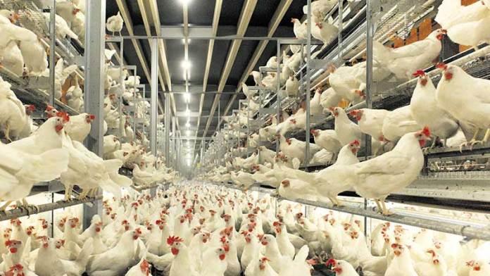 México trabaja para exportar pollo y huevo a Estados Unidos