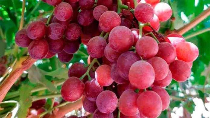 Exporta México más de 100 toneladas de uva a Corea del Sur