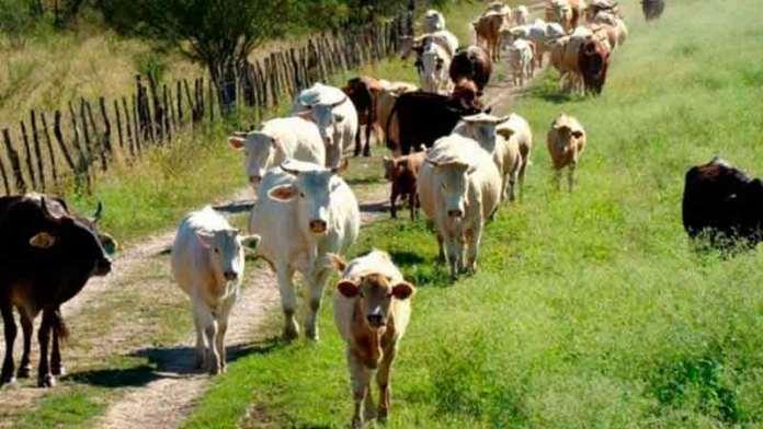 Exportadas, 184 mil cabezas de ganado