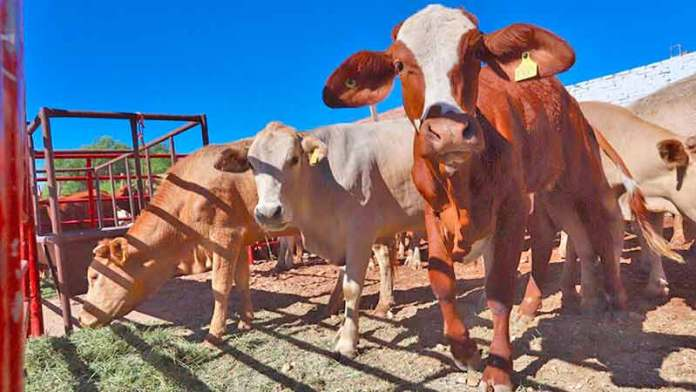 Crece de enero a junio de 2020 exportación de ganado a EU: CNOG