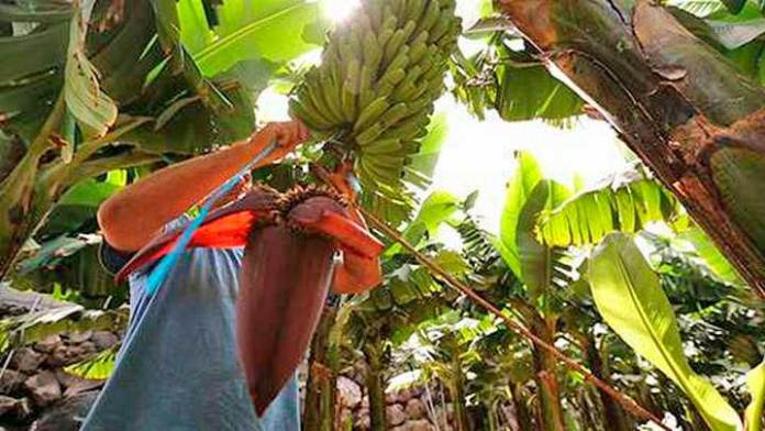 Producción de plátano en Tabasco sigue en esquemas tradicionales