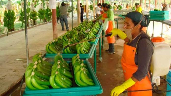 Caen exportaciones de plátano por inundaciones en Tabasco
