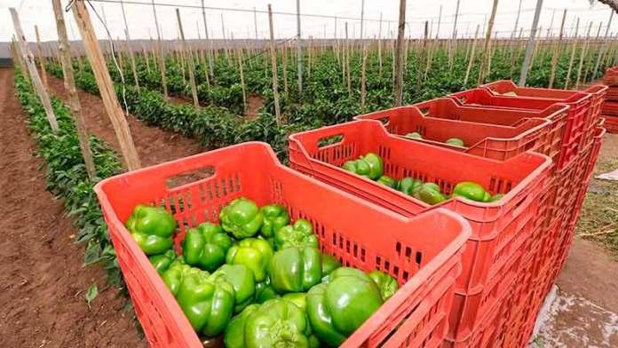 ¡Les irá mejor con Biden que con Trump!, confían exportadores agrícolas de México