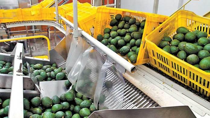 Exportaciones de aguacate de México crecen en valor y volumen
