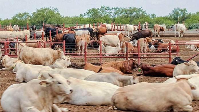 Expectativas de exportación de ganado en Sonora es positiva, revelan