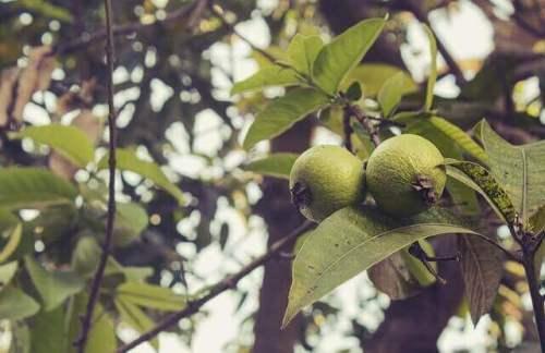 Τα φύλλα γκουάβα έχουναντιφλεγμονώδεις, αντιοξειδωτικές καιαντιβακτηριακές ιδιότητες, όπως επίσης και ορισμένες ωφέλιμες τανίνες.