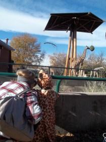 Lil' giraffe watching big giraffe