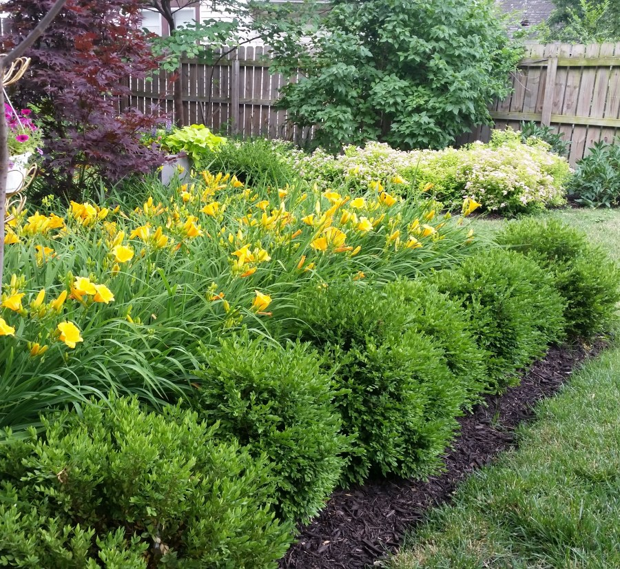 Daylily, boxwood and spirea