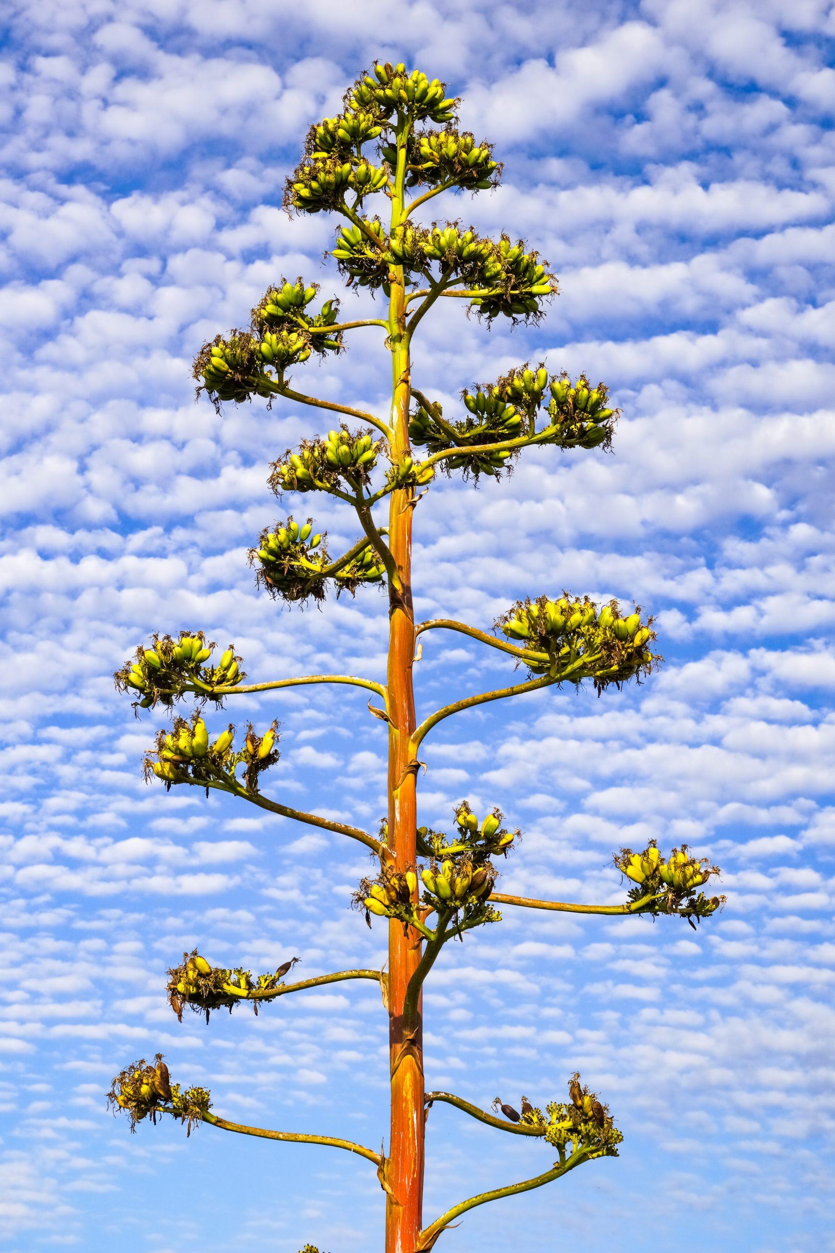 Quiote de Maguey espadín fotografia con el cielo con nubes aborregadas y un tono azul claro